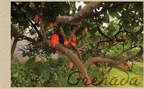 Grenada Cocoa Beans - Some of the finest cocoa beans ...
