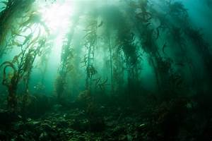 Giant Kelp Forests of Britain Might be Gone in 100 Years ...