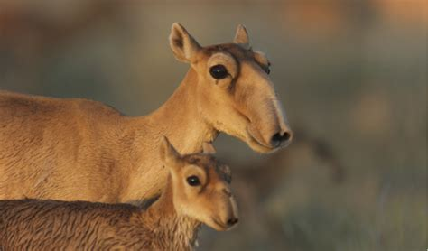 Catastrophic mass die-off of Saiga antelopes in Central ...