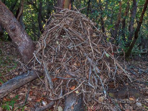 builds stick houses woodrats