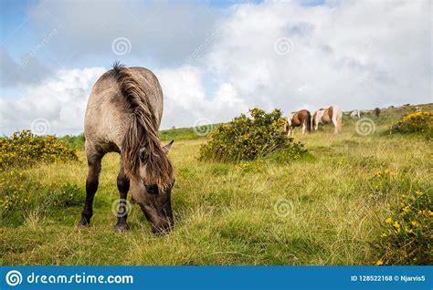 dartmoor wild grass grazing pony ponies