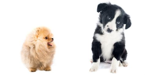 A Complete Guide To The Border Collie Pomeranian Mix