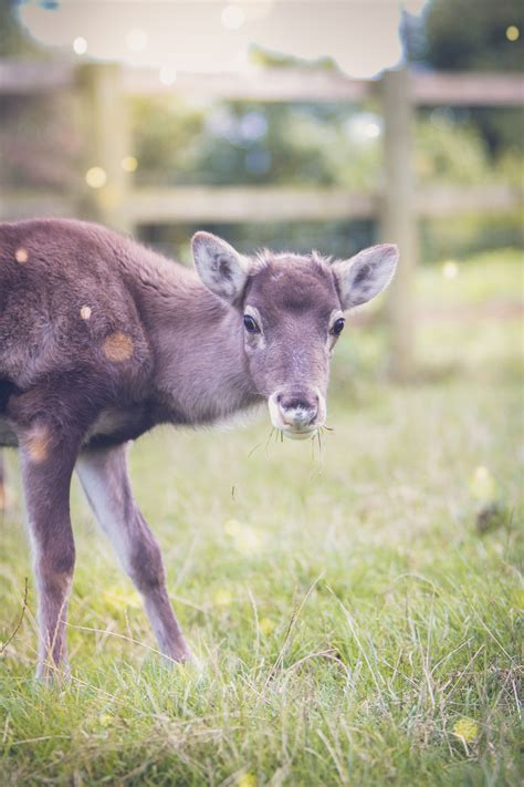 cotley farms baby reindeer named  exeter daily