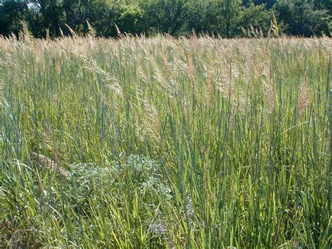 types of grass in india indian grass prairies and grasses pinterest
