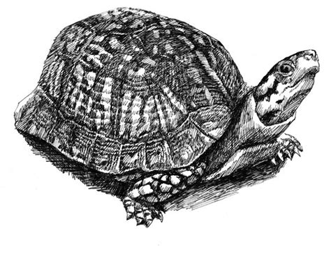wood box wood turtle stock illustration clip library