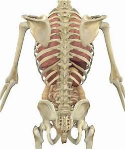 Human Back Bones Anatomy