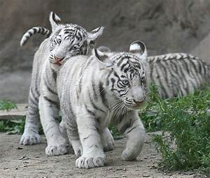 Cute Baby White Tigers With Blue Eyes | Car Interior Design