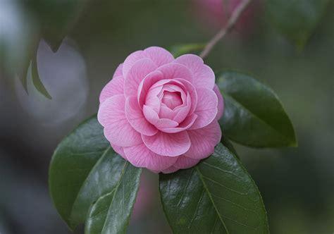 desktop wallpapers pink color flowers camellia closeup