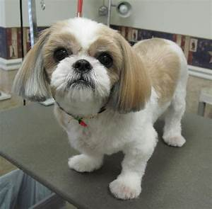 Short Shih Tzu Haircuts Haircuts Models Ideas
