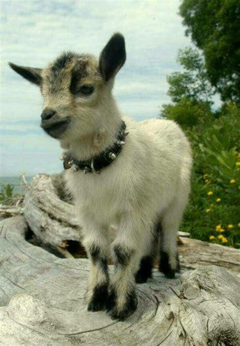 baby goat love  collar btw goats baby animals funny