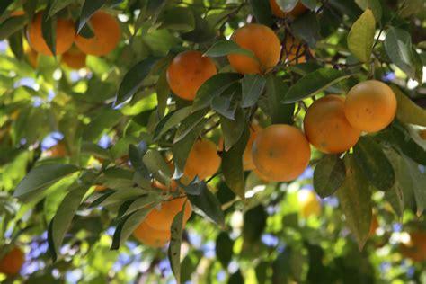 cuisiner les oronges la photo du jour oranger sévillan le merveilleux petit