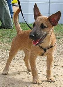 Cairn Terrier Jack Russell Terrier mixed breed dog | Dogs ...