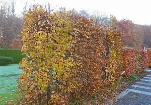 Hainbuche Baum Schneiden : hainbuche robust pflegeleicht ob als hecke oder baum ~ Watch28wear.com Haus und Dekorationen