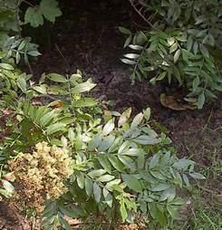Poison Sumac Plant