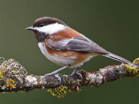 chestnut backed chickadee wildfowl carving com