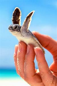 17 Best images about Sea Turtles on Pinterest | Myrtle ...
