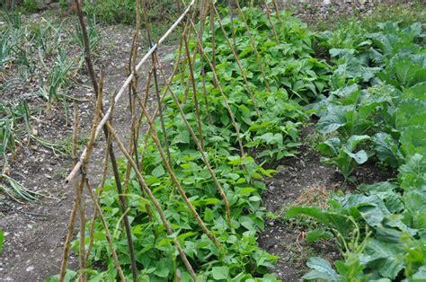comment cuisiner les haricots coco comment semer des haricots verts récolte rapide et abondante