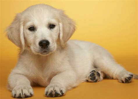 Cute Puppies Images Cute Puppy Hd Wallpaper And Background