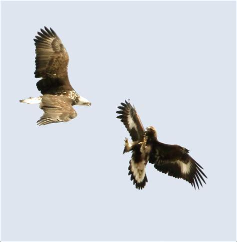 bald eagle  golden eagle flickr photo sharing