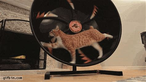cat hamster wheel cat hamster wheel screen best gifs and