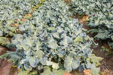 Brokkoli Anbauen » Der Beste Standort Zur Richtigen Saatzeit