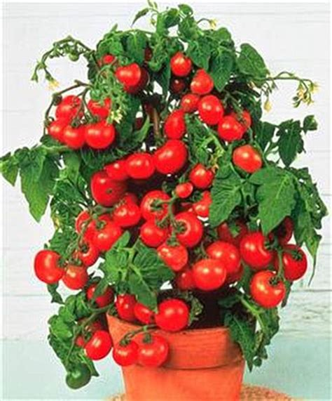 tomatoes for container gardening heirloom tomatoes