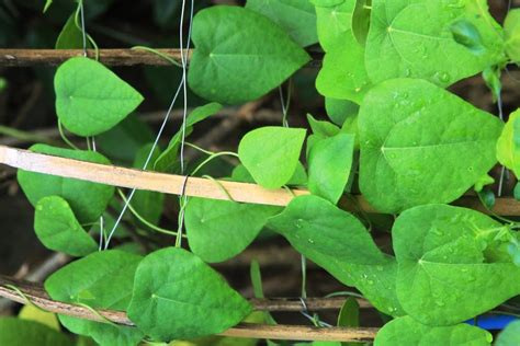 tanaman kampung cincau hijau rambat