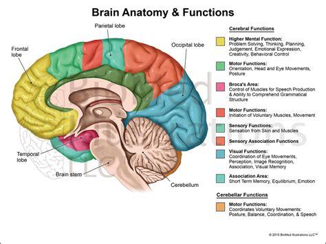 brain function diagram brain diagram and functions science