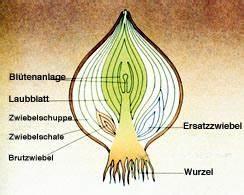 Aufbau Der Zwiebel : unbenanntes dokument ~ Lizthompson.info Haus und Dekorationen