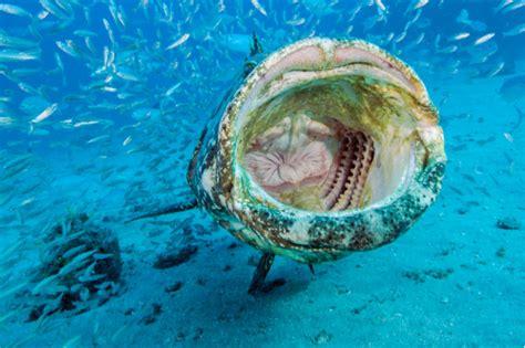 grouper goliath itajara florida fish epinephelus mouth massive information mpo photoshelter side hd neill patrick michael petworlds