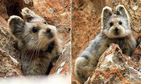 Introducing The Ili Pika Aka The Magic Rabbit The