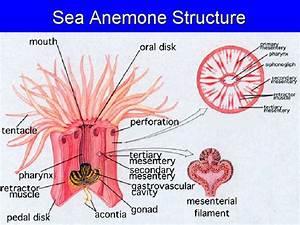 Sea Anemone Structure