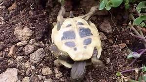 die griechische landschildkröte fällt beim fressen auf den
