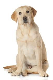 labrador retriever caract 232 re 233 ducation sant 233 entretien