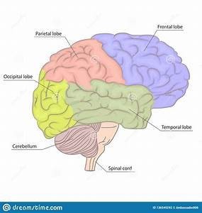 Human Brain Organ Parts Anatomy Diagram  Colorful Design