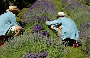 Lavendel Wann Schneiden : lavendel schneiden wann ist der richtige zeitpunkt ~ Lizthompson.info Haus und Dekorationen