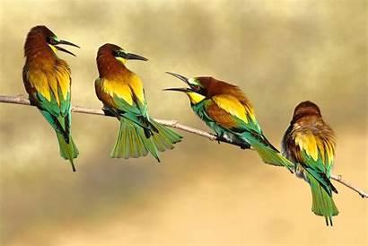 Birds Bee Desktop Wallpapers Sparrow Eater Animals