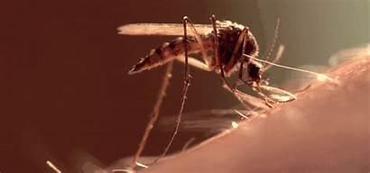 Mosquito Dengue Blood Sucking