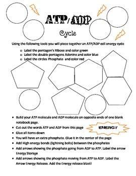 atp  adp energy cycle build  ashleys interactive
