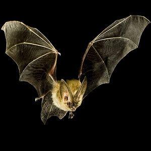 top  bat facts types diet habitat  factsnet