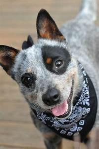 What a cutie!!! - Australian Cattle Dog Aaron wants a blue ...