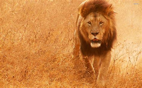 lion screensavers  wallpaper  images