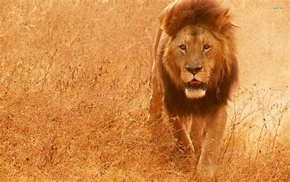 Lion Wallpapers Wild Screensaver Screensavers Animal Background