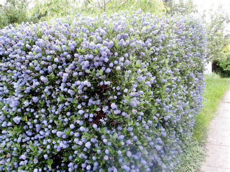 Best Place To Buy Trellis by Ceanothus Hedge In Place Of The Trellis Is Evergreen And