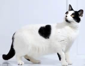 cardiac cats the lovecat that needs a home feline s unique fur pattern