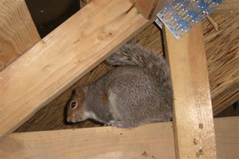 Squirrels Your Attic Greenshield Pest Control