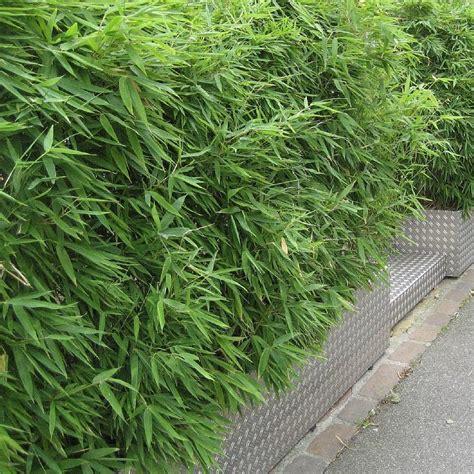 vente fargesia rufa bambou cespiteux