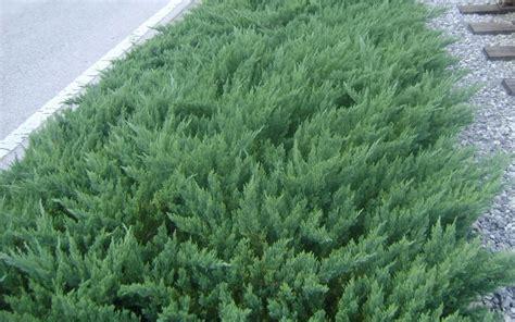 juniper bush buy parsoni juniper juniperus davurica parsonii 2 5 quart junipers