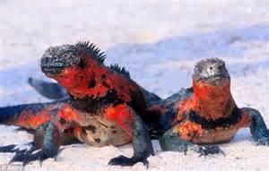 Marine Iguana Galapagos Islands Animals