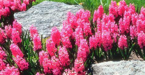 are hyacinths perennials ehow uk